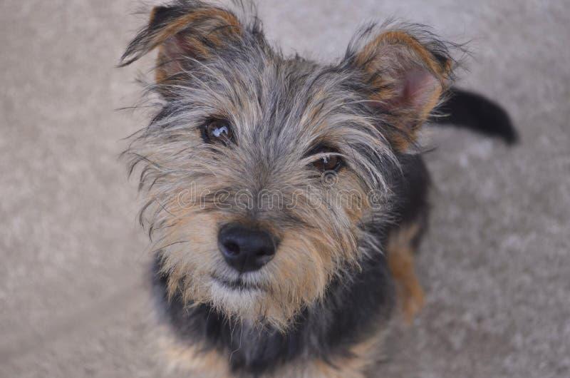 Pouco levantamento do yorkshire terrier imagens de stock