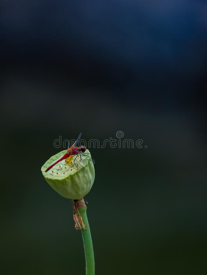 Pouco libélula vermelha imagens de stock royalty free