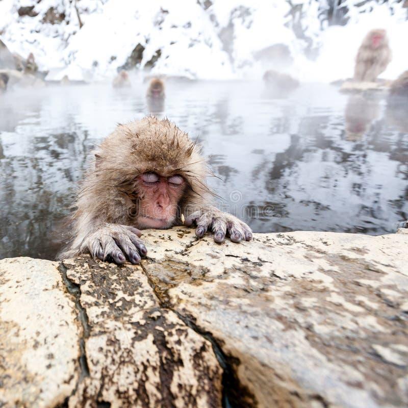 Pouco macaco japonês bonito da neve que dorme em uma mola quente Yudanaka, Japão imagens de stock