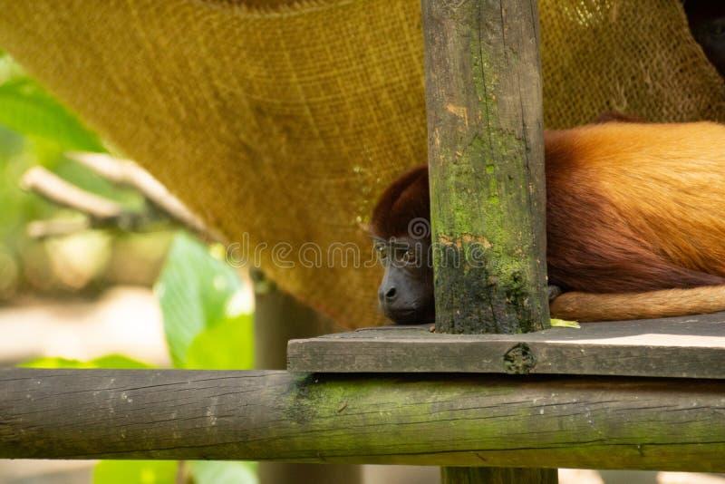 Pouco macaco marrom que descansa e que olha imagens de stock