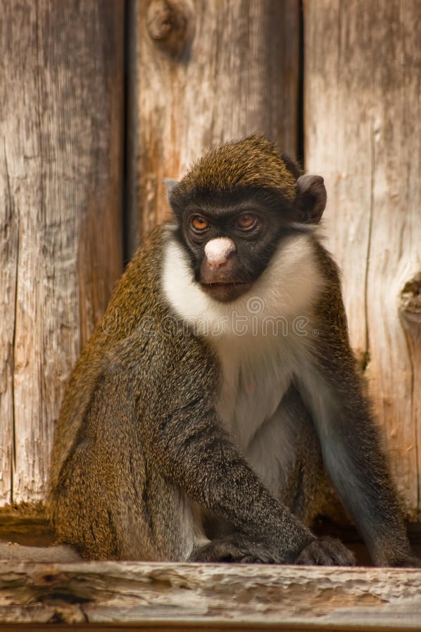 Pouco nariz-macaco branco fotos de stock royalty free
