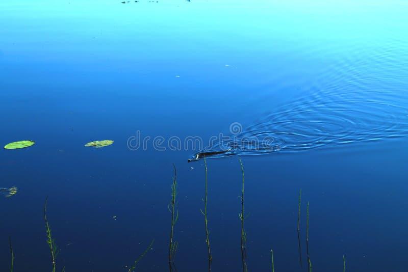 Pouco natação preta da serpente através do lago imóvel fotografia de stock royalty free