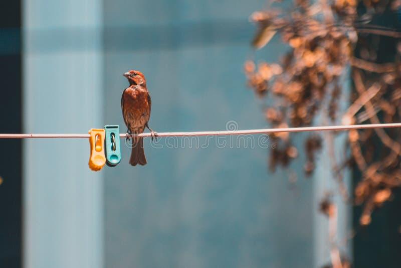Pouco pássaro vermelho que levanta em uma corda foto de stock royalty free