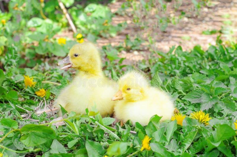 Pouco patinhos na grama verde Pássaros da exploração agrícola, filhotes imagens de stock