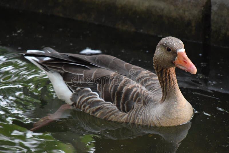 Pouco pato marrom que flutua na água fotografia de stock royalty free