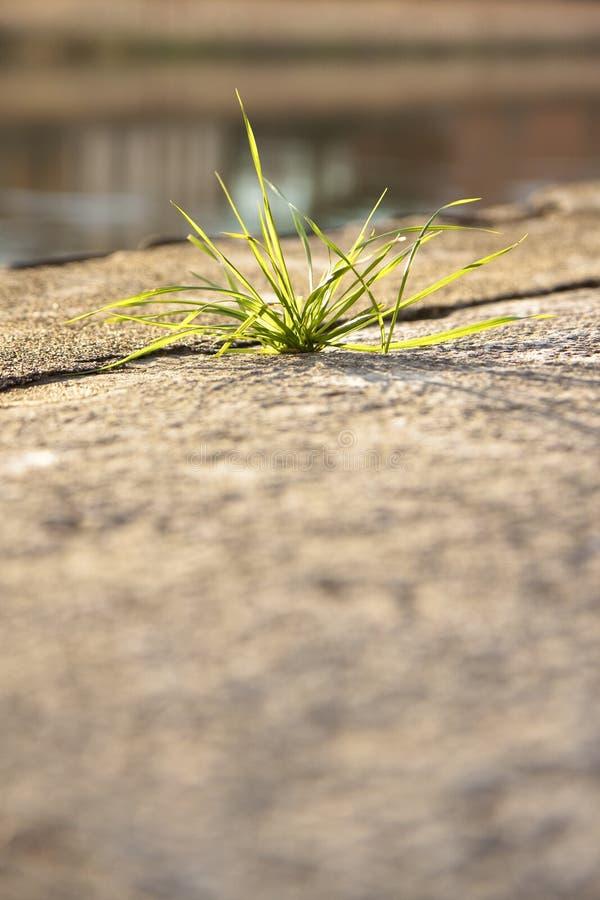 Pouco planta nascida na pedra foto de stock royalty free
