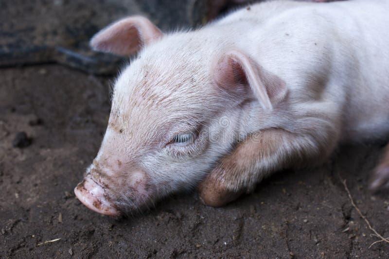 Pouco porco que encontra-se na sujeira fotos de stock
