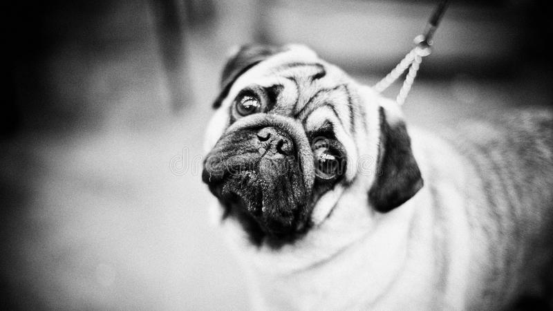 Pouco pug triste em um dogshow fotografia de stock royalty free