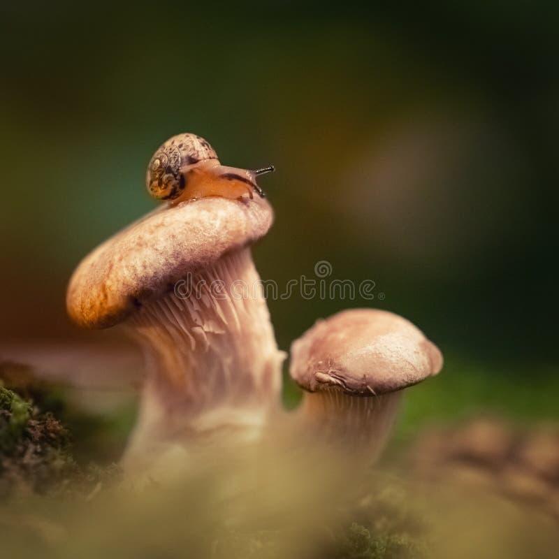 Pouco rastejamento curioso do caracol, sentando-se em um cogumelo nas madeiras Fim do caracol acima no cogumelo de ostra em um ve fotografia de stock