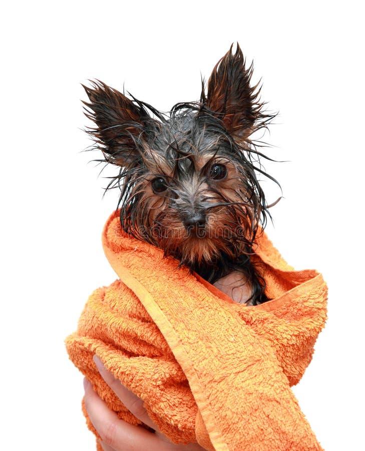 Pouco terrier de Yorkshire molhado fotografia de stock