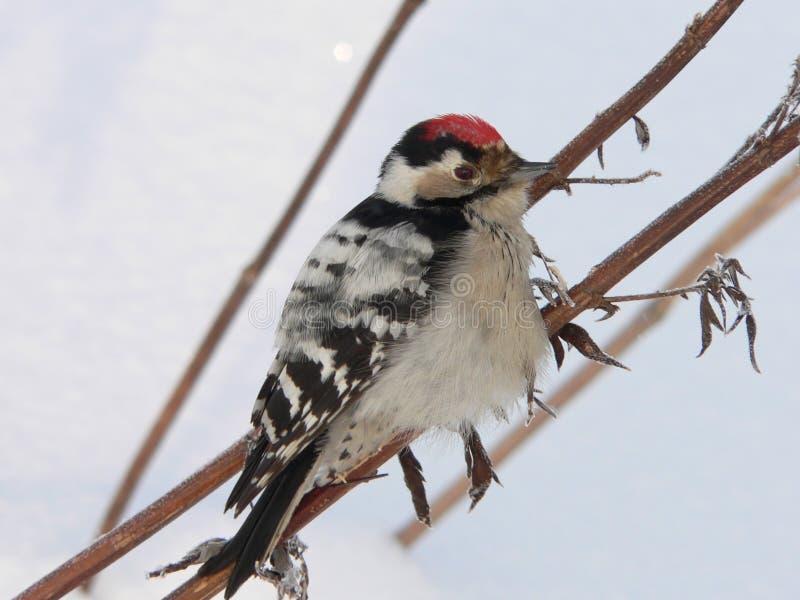 Pouco Woodpecker manchado fotos de stock royalty free