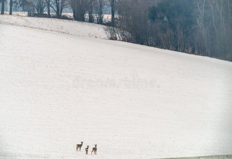 Poucos cervos de ovas foto de stock royalty free