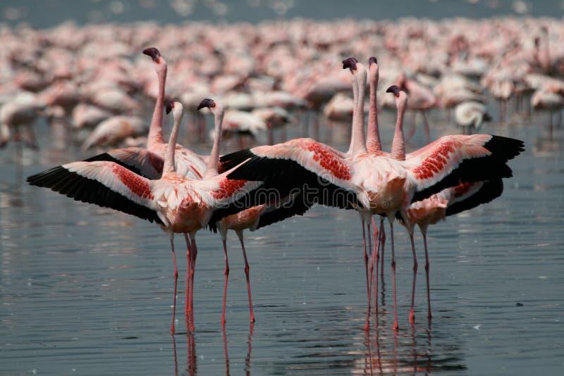 Poucos flamingos imagem de stock royalty free