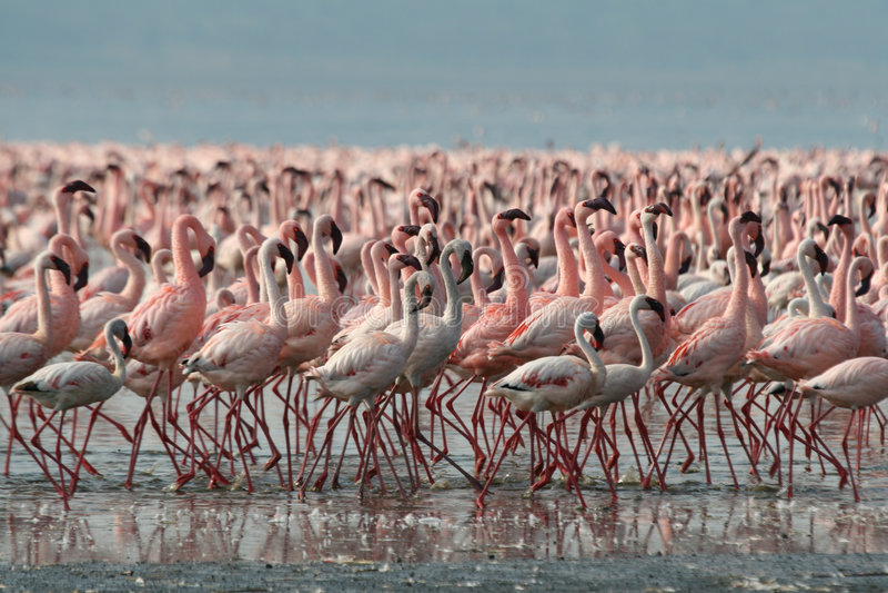 Poucos flamingos no lago Nakur imagem de stock royalty free