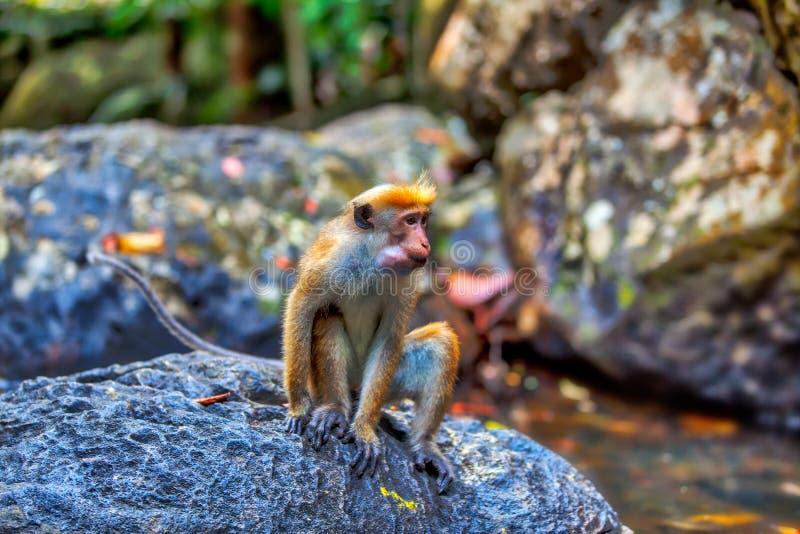 Poucos macacos verdes ou guenons do wilde caracterizam a paisagem das florestas úmidas imagens de stock