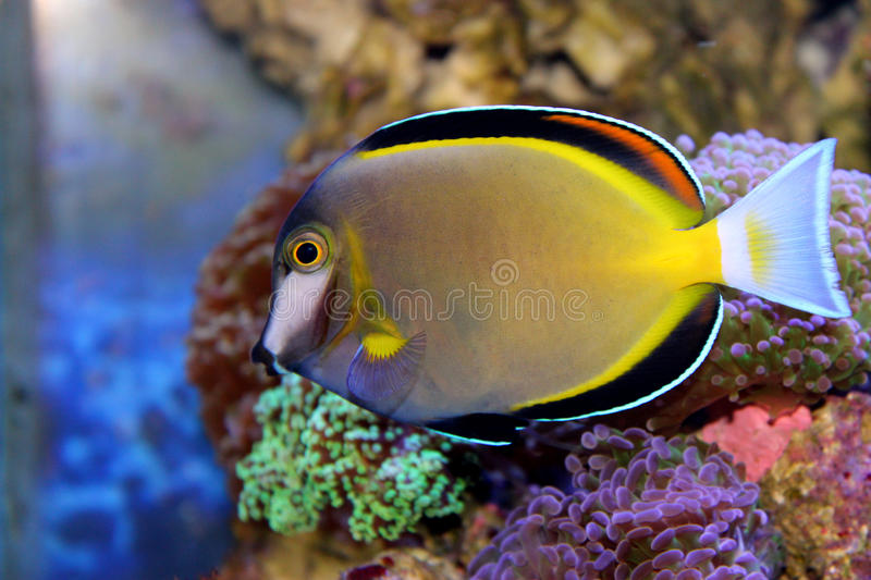 Poudre Brown Tang image stock
