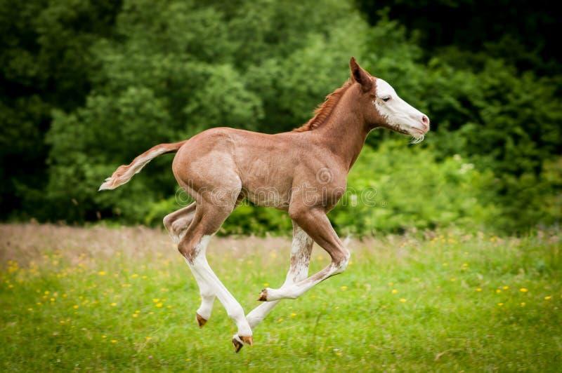 Poulain américain de cheval de peinture fonctionnant sur le pré vert image stock