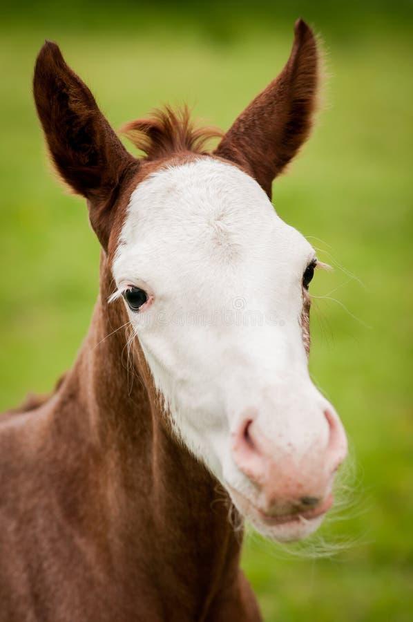 Poulain américain de cheval de peinture sur le pré vert photos stock