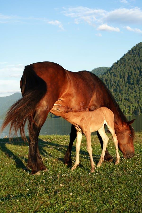 Poulain avec la momie un cheval photographie stock libre de droits