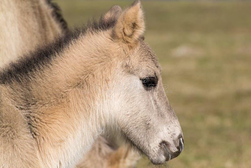 Poulain conique de cheval photos libres de droits