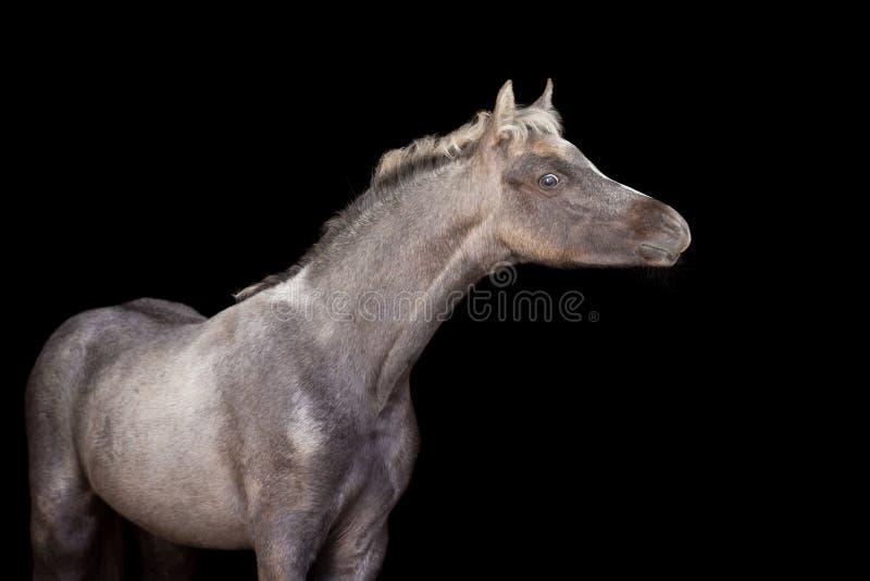Poulain d'un poney sur le fond noir photos libres de droits