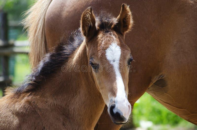 Poulain de cheval images stock