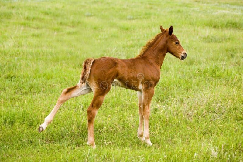 Poulain de cheval quart photo stock