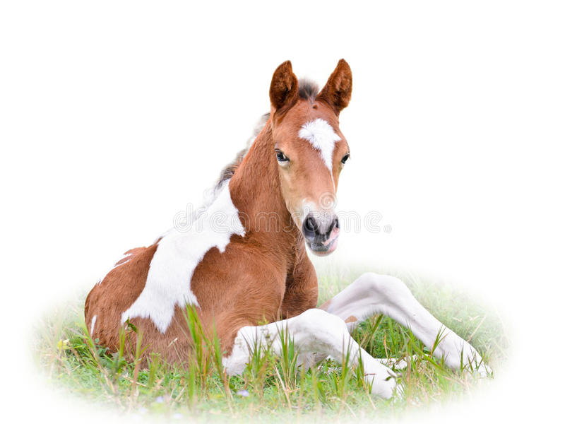 Poulain de cheval se reposant dans l'herbe d'isolement sur le blanc photo stock