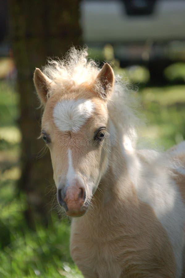 Poulain de poney d'îles Shetland photographie stock libre de droits