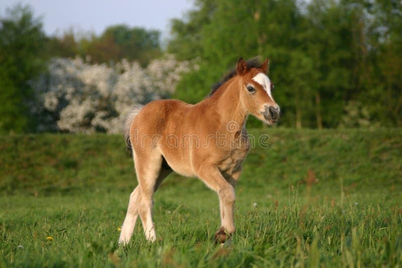 Poulain de poney de Brown obturation image libre de droits