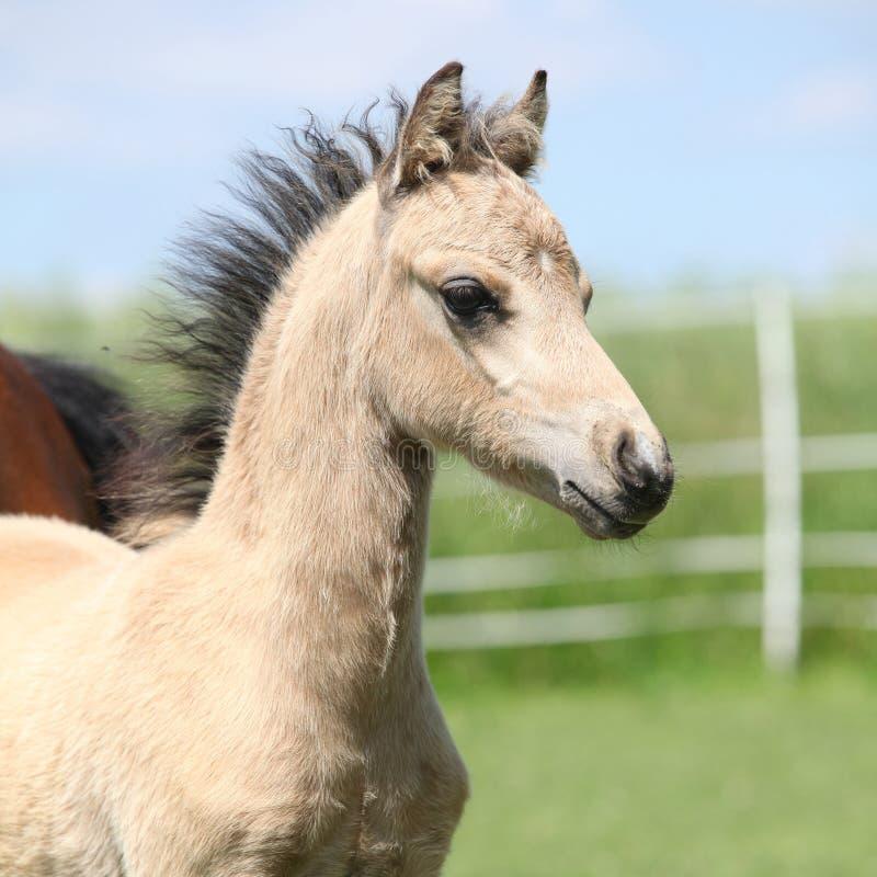 Poulain de poney de montagne de Gallois images stock