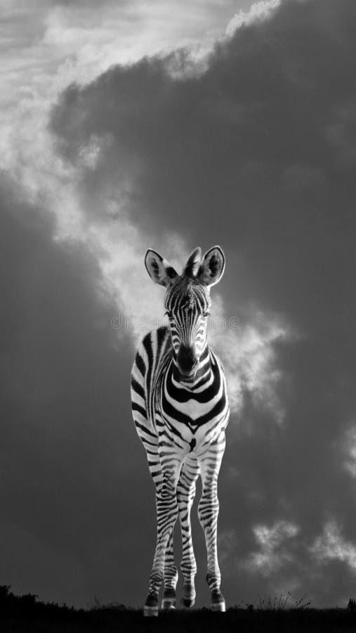 Poulain de zèbre de bébé en Afrique photos stock