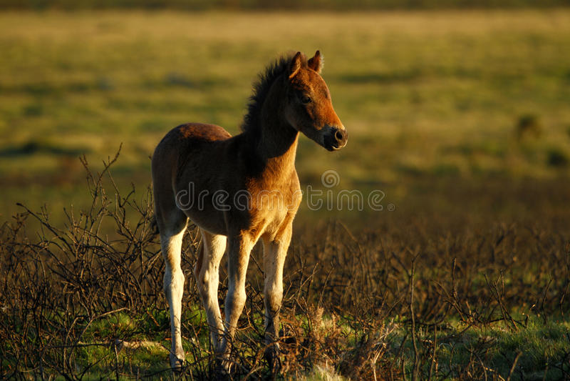 Poulain fier de Dartmoor image libre de droits