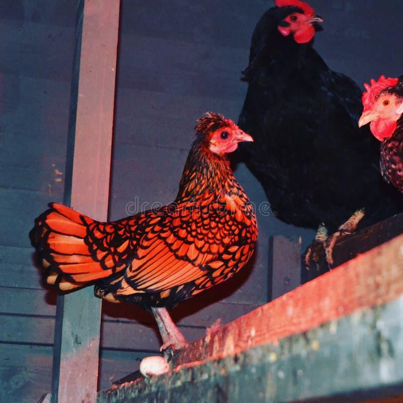 poule images stock