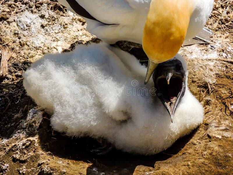 Poule Australasian de serrator de Morus de fou de Bassan et sous poussin juvénile, photographie stock