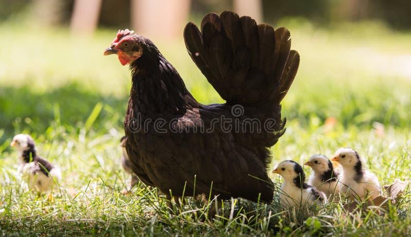 Poule avec des poulets de bébé photo stock