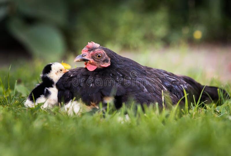 Poule avec des poulets de bébé se cachant sous ses ailes, photo stock