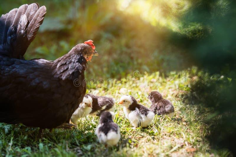 Poule avec des poulets de bébé se cachant sous ses ailes, photos stock