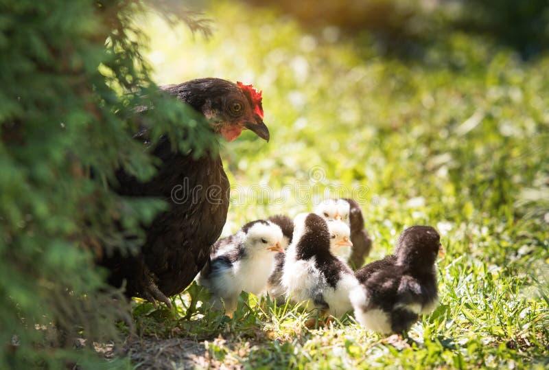 Poule avec des poulets de bébé sur la cour image libre de droits
