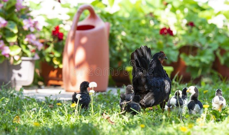 Poule avec des poulets de bébé sur le yeard photographie stock libre de droits