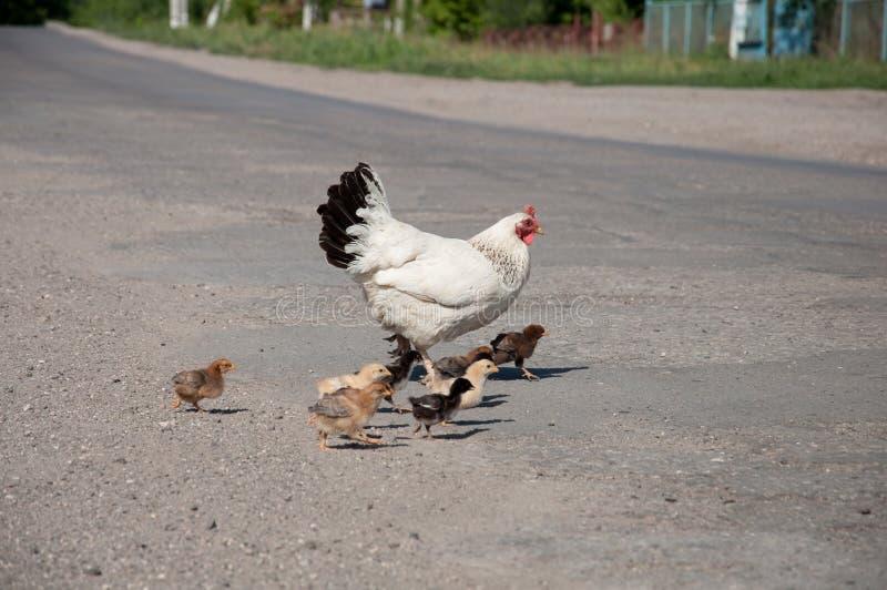 Poule avec des poulets sur la route photos stock