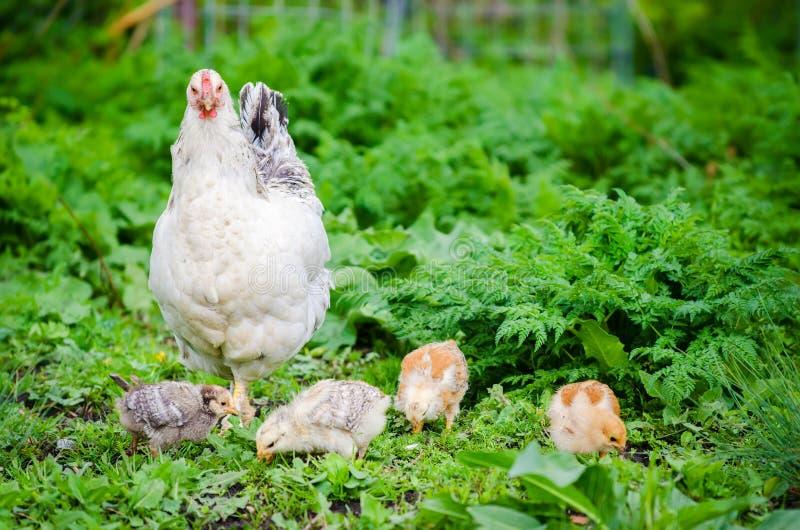 Poule avec des poussins dans un jardin d'herbe verte photo stock