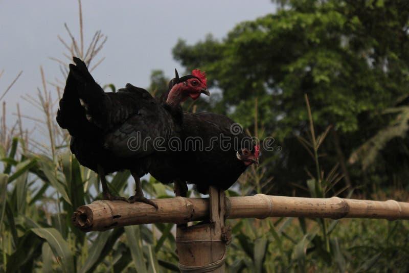 Poule bangladaise photographie stock