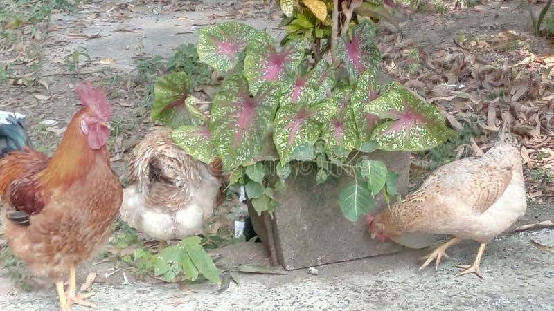 Poule d'odisha d'Inde à la maison image stock