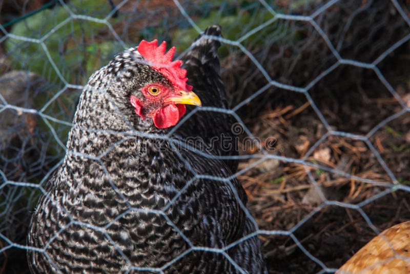 Poule dans le jardin photo libre de droits