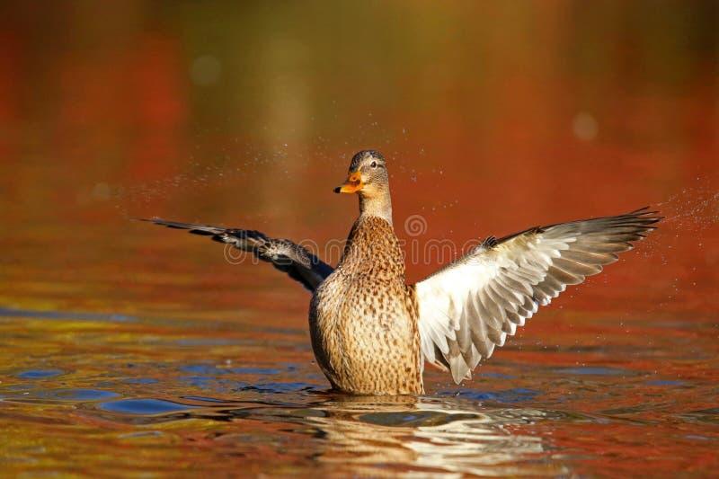 Poule de Mallard sur l'eau orange dans l'automne au crépuscule