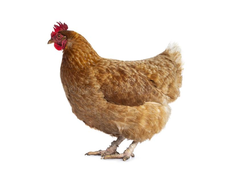 Poule de poulet de Brown Barnevelder, d'isolement sur le fond blanc photo libre de droits