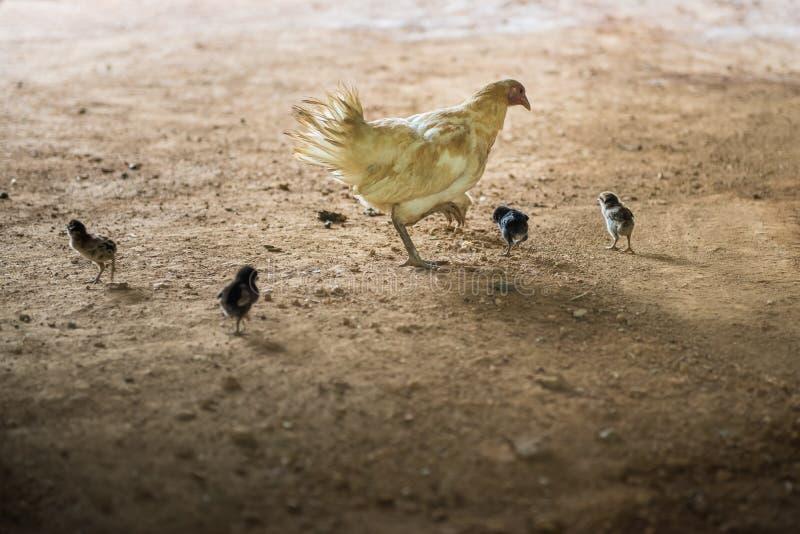 Poule et x28 ; chicken& x29 ; avec les poussins trouvant la nourriture photographie stock libre de droits