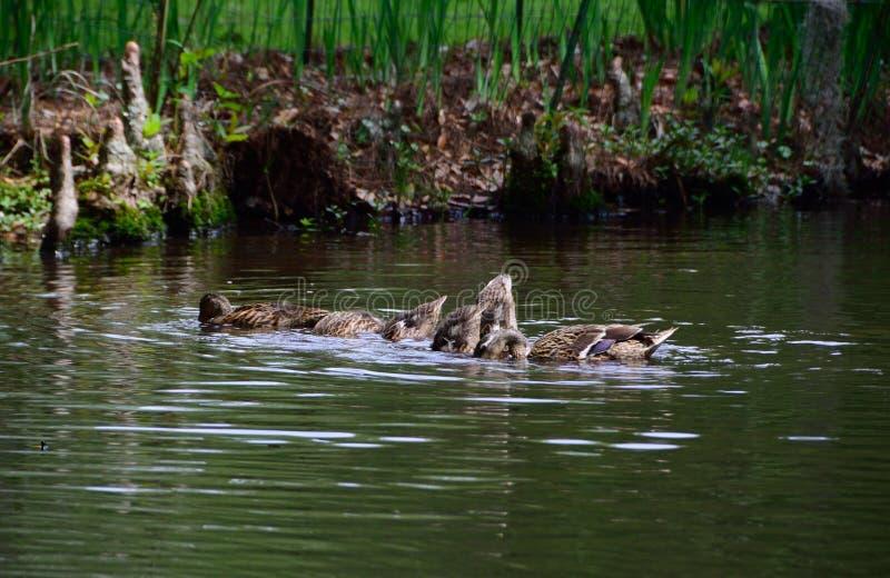 Poule et jeunes de Mallard photos stock