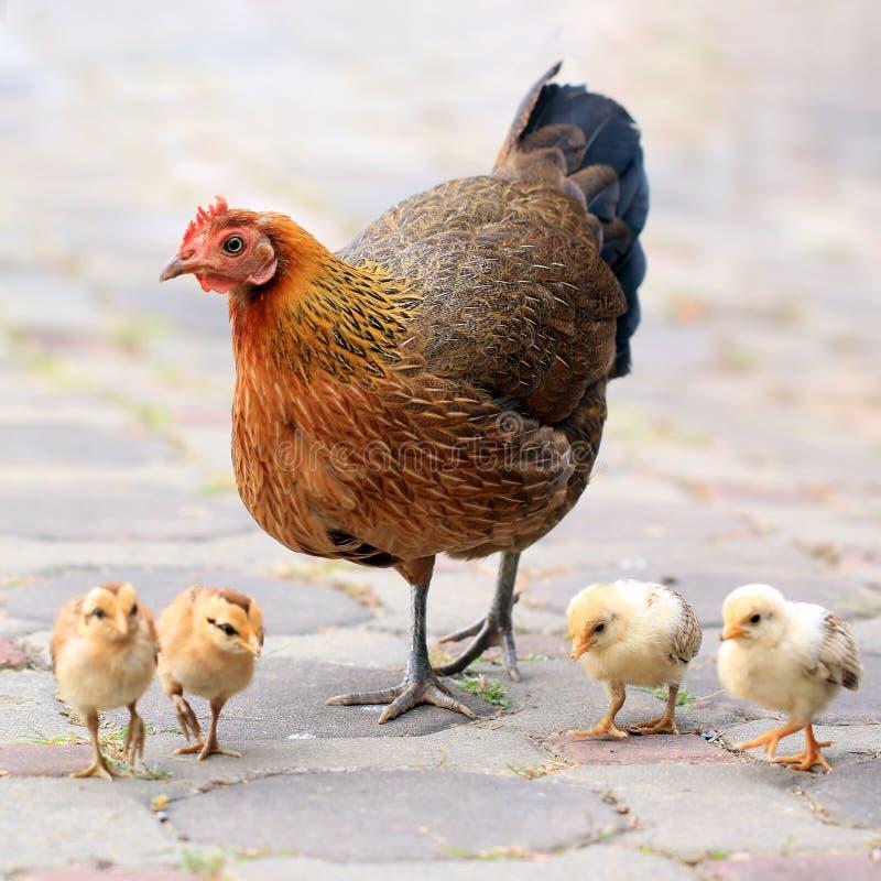Poule et ses poussins photo stock image du oiseau combat 35957274 - Poule et ses poussins ...
